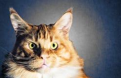 Retrato alaranjado vermelho do gato do racum grande de Maine Foto de Stock