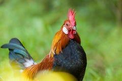 Retrato alemán del gallo Foto de archivo libre de regalías