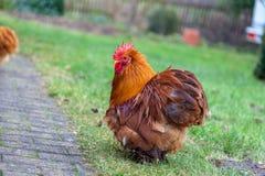 Retrato alemán del gallo en fondo verde Foto de archivo