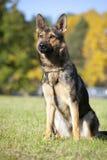 Retrato alemán del perro pastor Imagenes de archivo