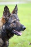 Retrato alemán del perro pastor Foto de archivo libre de regalías