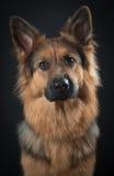 Retrato alemão do shepard Foto de Stock