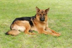 Retrato alemão do cão do shephard (pastor) Imagem de Stock