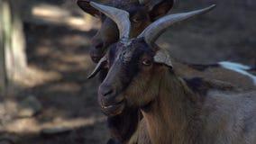 Retrato alpino de la cabra almacen de video