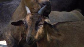 Retrato alpino de la cabra almacen de metraje de vídeo