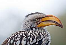 Retrato amarelo do hornbill foto de stock royalty free