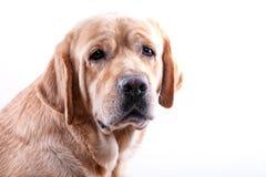 Retrato amarillo de Labrador Fotos de archivo