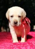 Retrato amarillo del perrito de Labrador en rojo Imagenes de archivo