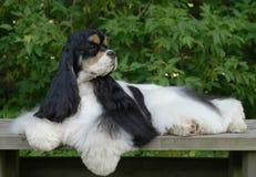 Retrato americano del perro de aguas de cocker Foto de archivo libre de regalías