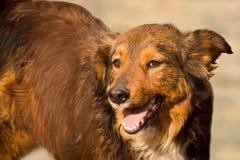 Retrato amistoso del perro Fotografía de archivo libre de regalías