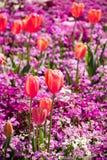 Retrato anaranjado de los tulipanes Fotografía de archivo