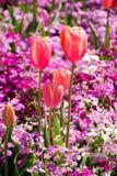 Retrato anaranjado de los tulipanes Imágenes de archivo libres de regalías
