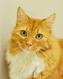 Retrato anaranjado de ojos verdes del gato atigrado Imágenes de archivo libres de regalías