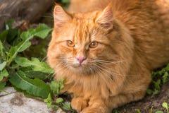Retrato anaranjado hermoso del gato al aire libre en cierre de la naturaleza para arriba Mire la cámara fotografía de archivo libre de regalías