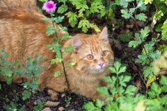 Retrato anaranjado hermoso del gato con mirada de la penetración al aire libre en naturaleza en hierba verde fotos de archivo