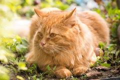 Retrato anaranjado lindo hermoso del gato al aire libre en cierre de la naturaleza para arriba fotografía de archivo libre de regalías