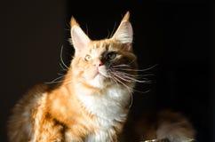 Retrato anaranjado rojo del gato del mapache de Maine Imagen de archivo libre de regalías