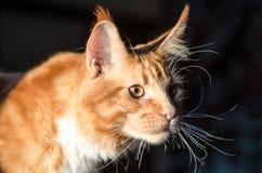 Retrato anaranjado rojo del gato del mapache de Maine Imagen de archivo