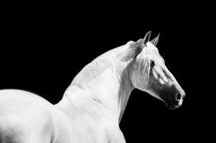 Retrato andaluz do monochrome do cavalo Imagem de Stock Royalty Free