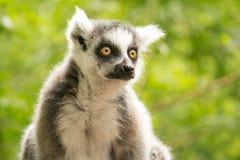 retrato Anillo-atado del mono Foto de archivo