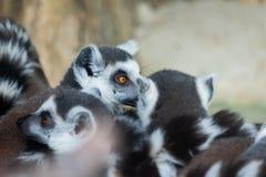Retrato Anillo-atado del primer de los lémures, primate gris grande con los ojos de oro imagen de archivo