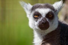 Retrato Anillo-atado del primer del lémur, primate gris grande con los ojos de oro fotografía de archivo