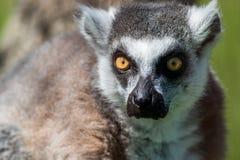 Retrato Anillo-atado del primer del lémur, primate gris grande con los ojos de oro foto de archivo libre de regalías