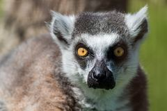 Retrato Anillo-atado del primer del lémur, primate gris grande con los ojos de oro imagen de archivo libre de regalías