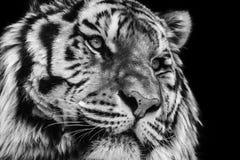 Retrato animal blanco y negro potente del alto contraste de una cara del tigre imágenes de archivo libres de regalías