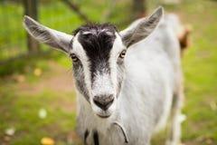 Retrato animal de Gray Goat On Walk Looking en cámara imágenes de archivo libres de regalías
