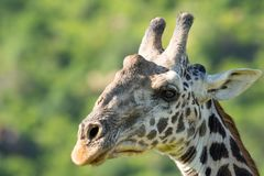 Retrato animal del detalle de la cabeza del primer de la fauna de la jirafa foto de archivo libre de regalías