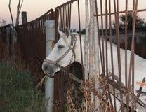 Retrato animal do perfil da foto de cavalo branco Imagem de Stock Royalty Free