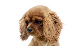 Retrato arrogante de rey Charles Spaniel del perrito lindo en el studi blanco Imagen de archivo