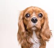 Retrato arrogante del perrito del perro de aguas de rey Charles Foto de archivo libre de regalías