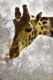 Retrato artístico con el fondo texturizado, cabeza de la jirafa foto de archivo libre de regalías