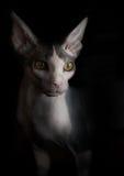 Retrato artístico del gato de Sphynx Fondo negro Imagen de archivo libre de regalías