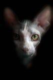 Retrato artístico del gato de Sphynx Fondo negro Foto de archivo