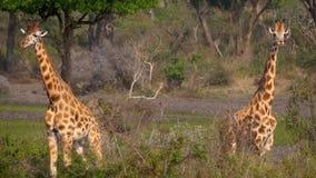 Retrato ascendente cercano de dos jirafas africanas salvajes hermosas en arbustos verdes metrajes