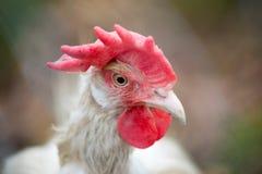 Retrato ascendente cercano de la gallina Imagenes de archivo
