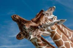 Retrato ascendente cercano de la jirafa de Tanzania tres en fondo del cielo Foto de archivo libre de regalías