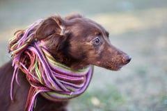 Retrato ascendente cercano de la pequeña mezcla roja del perro del chocolate o chucho en bufanda pelada brillante afuera Fondo en imagen de archivo