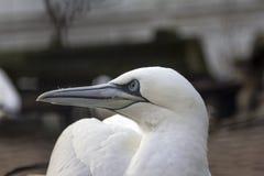 Retrato ascendente cercano de un gannet septentrional que da vuelta a su cabeza y falta de definición foto de archivo libre de regalías