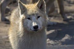 Retrato ascendente cercano de un lobo fotos de archivo libres de regalías