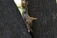 Retrato ascendente cercano de un Sciurus Anomalus, ardilla caucásica que sube abajo un tronco de árbol fotos de archivo