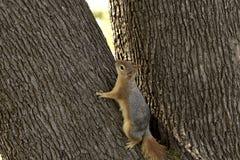 Retrato ascendente cercano de un Sciurus Anomalus, ardilla caucásica que sube en un tronco de árbol fotos de archivo