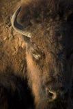 Retrato ascendente cercano del búfalo con texturas y luz del sol fuertes del día del llate Imágenes de archivo libres de regalías
