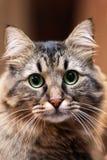 Retrato ascendente cercano del gato siberiano de pelo largo lindo del color tebby Empañe el fondo, mirada impresionante del gato  foto de archivo libre de regalías