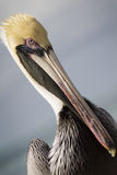 Retrato ascendente cercano del gráfico del pelícano en las llaves de la Florida fotos de archivo libres de regalías