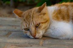 Retrato ascendente cercano del jengibre y del gato blanco foto de archivo