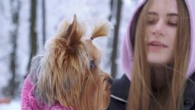 Retrato ascendente cercano un terrier de Yorkshire vestido en el suéter de las lanas que camina con el dueño al aire libre Adoles metrajes
